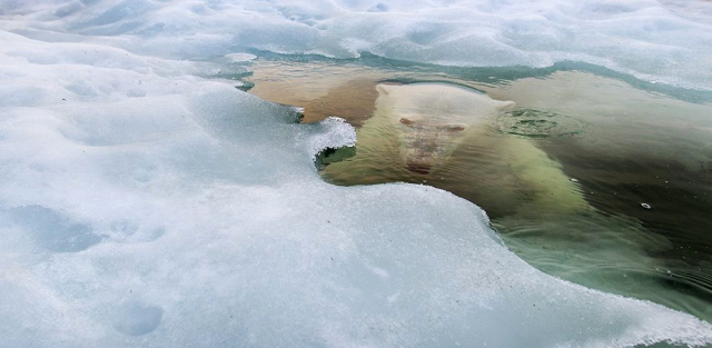 """Photograph by Paul Souders """"A polar bear peers up from beneath the melting sea ice on Hudson Bay as the setting midnight sun glows red from the smoke of distant fires during a record-breaking spell of hot weather,"""" writes Paul Souders, who submitted this winning picture to the 2013 National Geographic Photo Contest. """"The Manitoba population of polar bears, the southernmost in the world, is particularly threatened by a warming climate and reduced sea ice."""""""